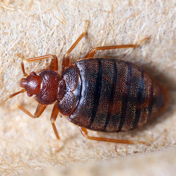 Bed bug removal in London