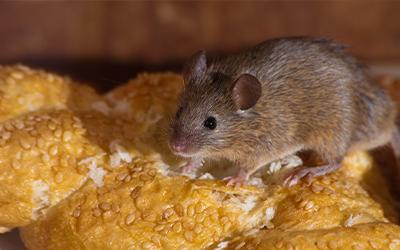 Mouse Pest Control Services London