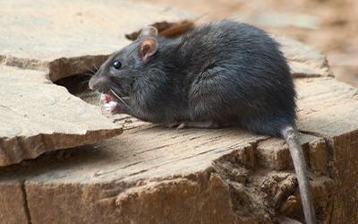 Rat Pest Control London