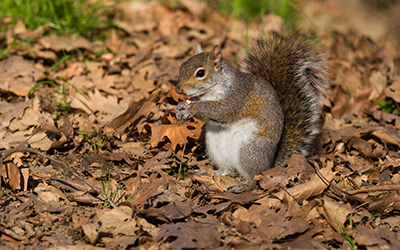 Squirrel Removal Services London